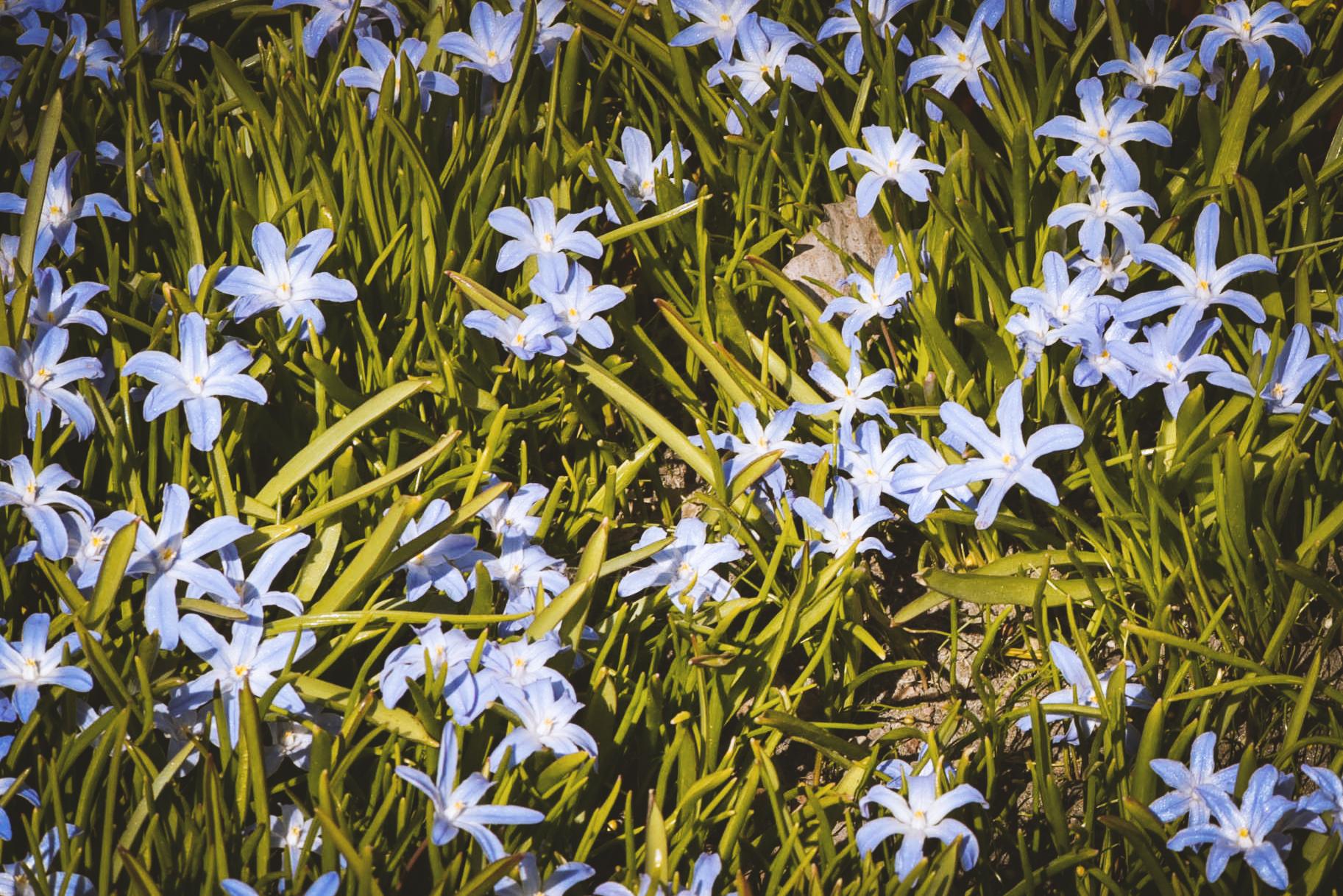 Kevään kukkia. Tuukka Lindholm.