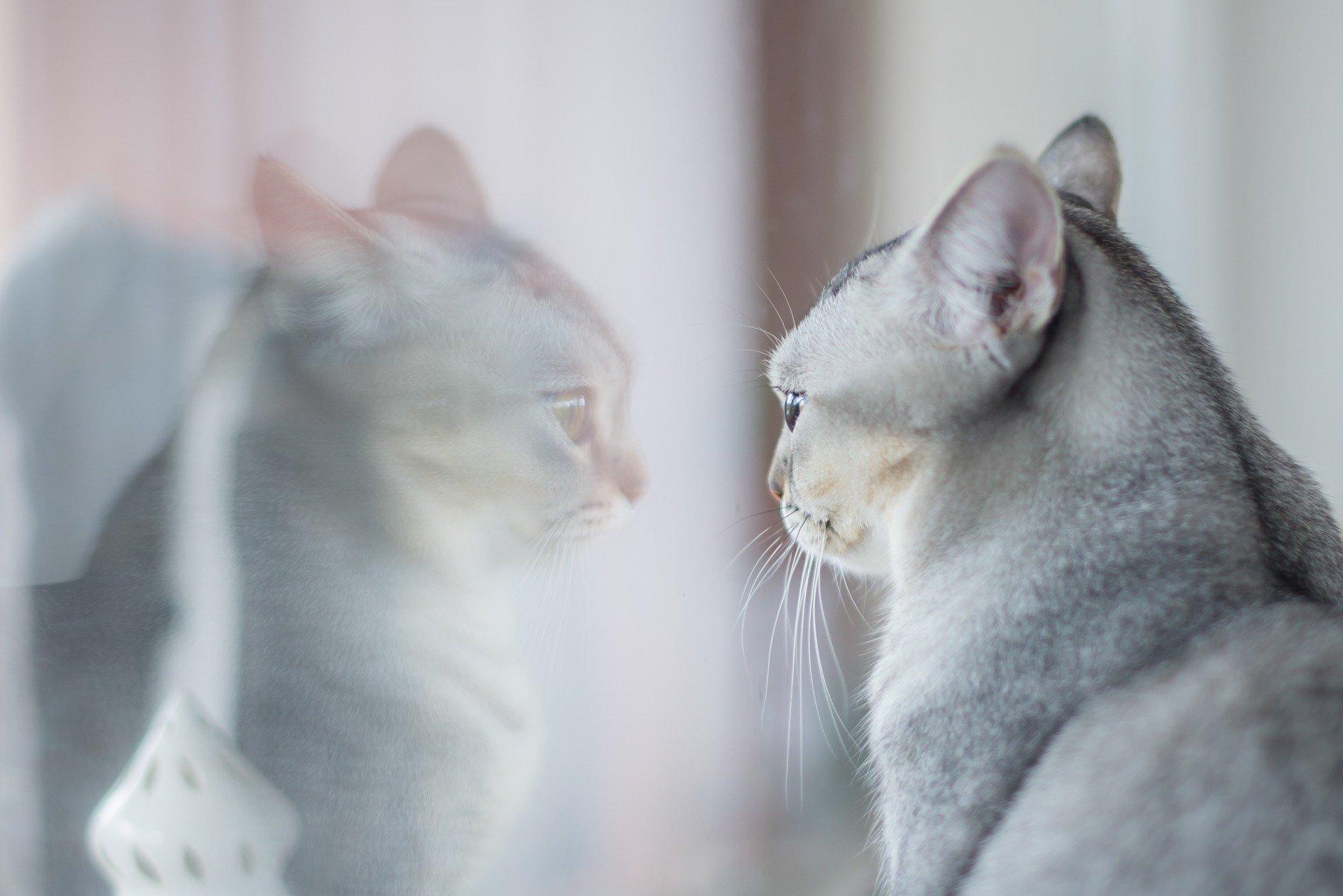 Kissa katsoo omaa kuvajaistaan. Pexels.
