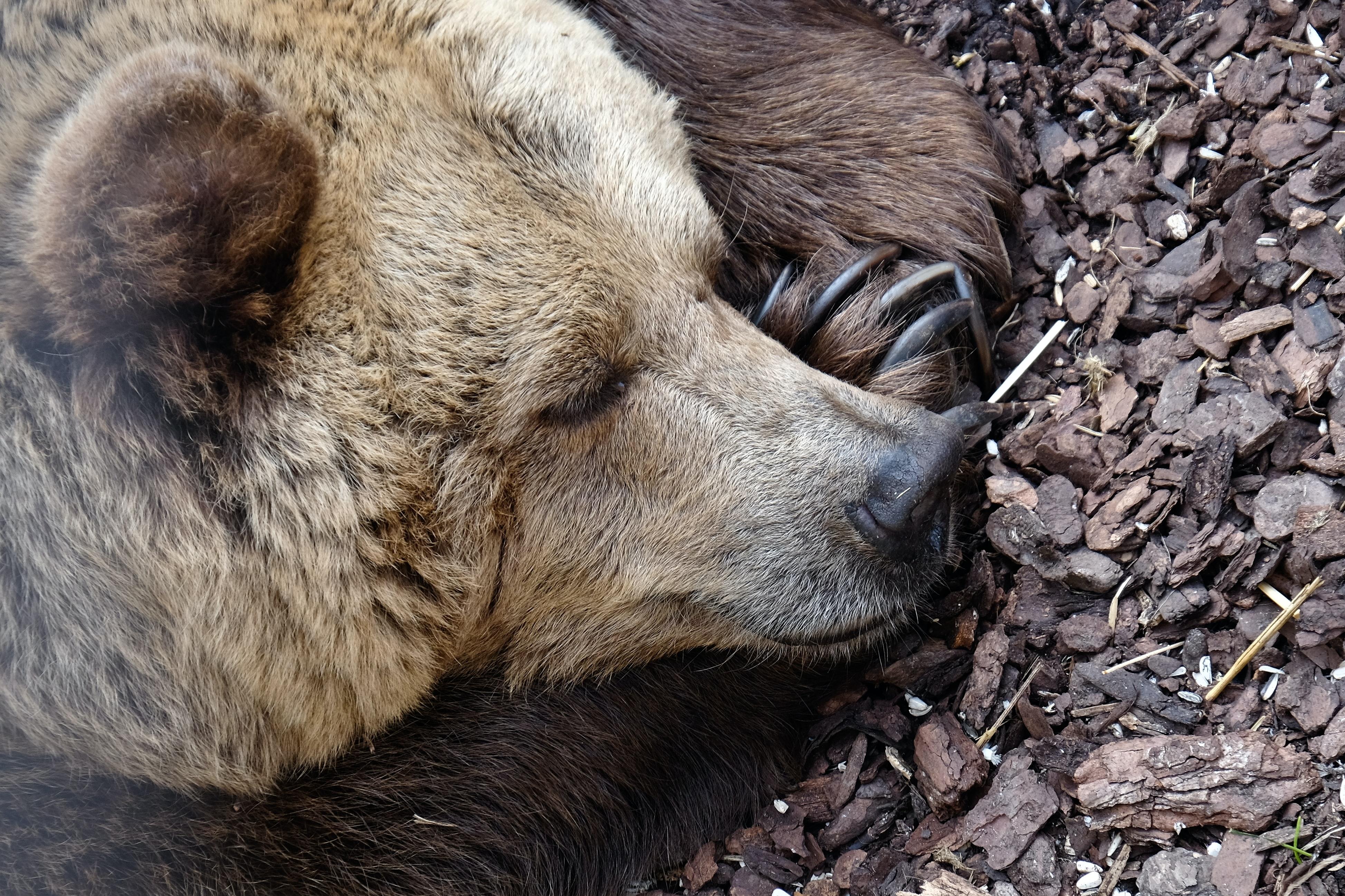Karhu nukkuu. Unsplash.