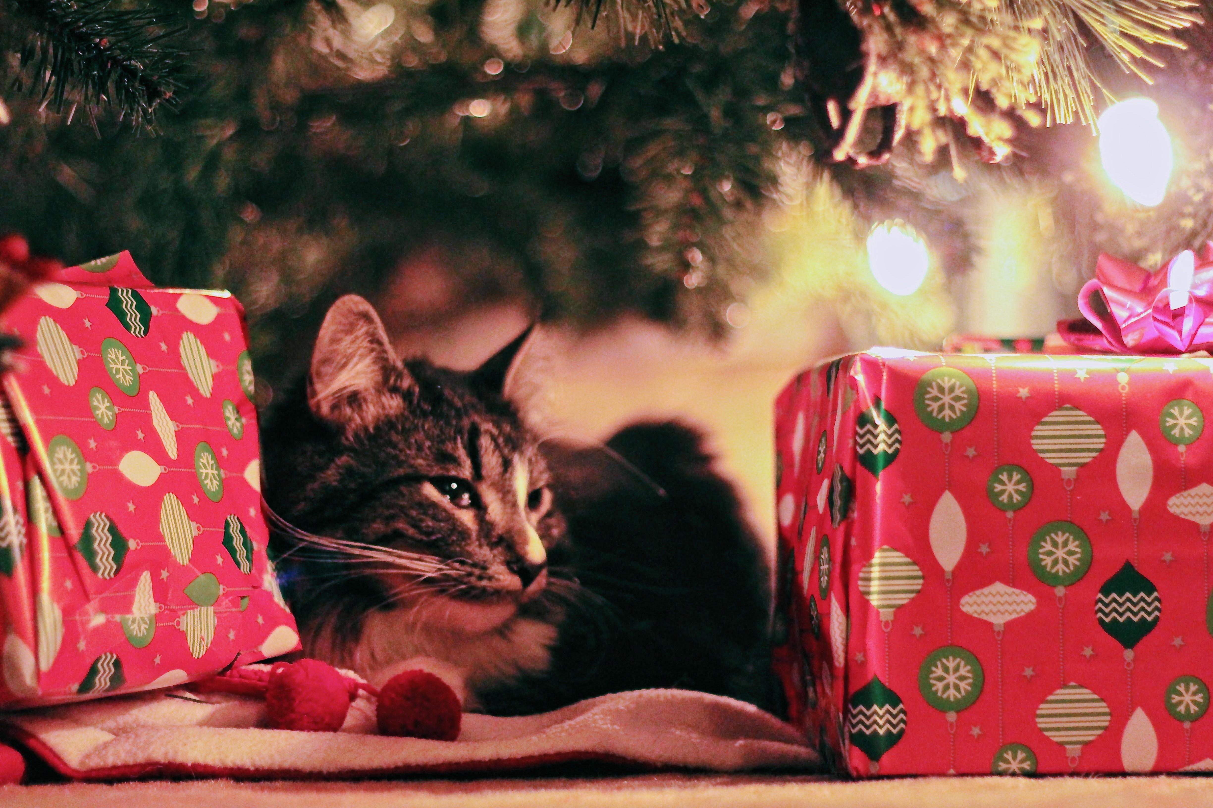 Kissa ja joululahjat. Pexels.