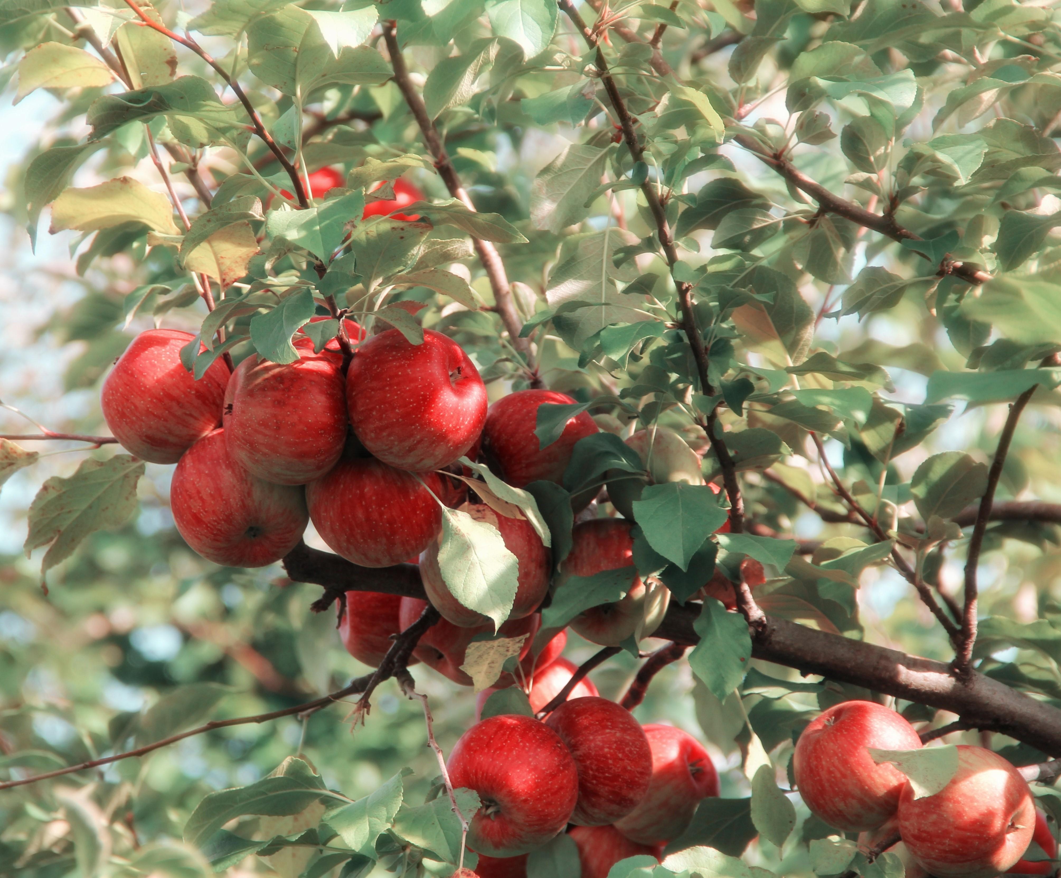 Omenapuu. Pixabay.