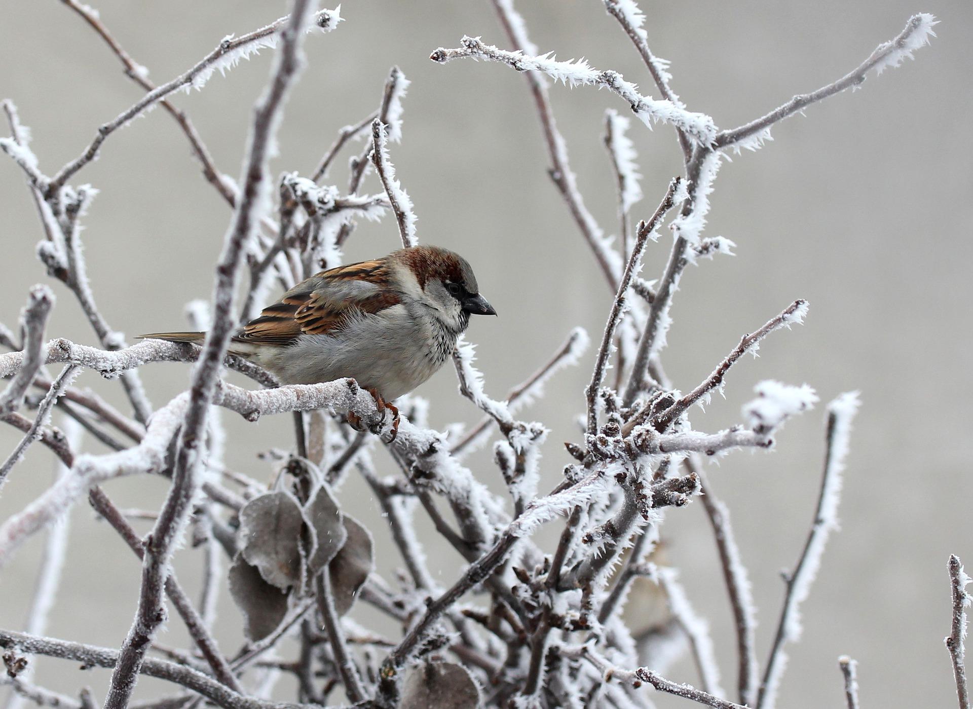 Varpunen talvella. Pixabay,
